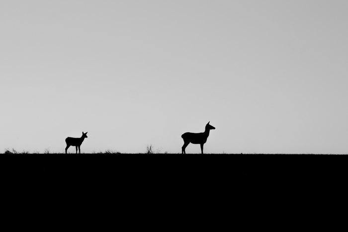 Встретил оленей на поле Олень, Животные, Природа, Фотография, Длиннопост
