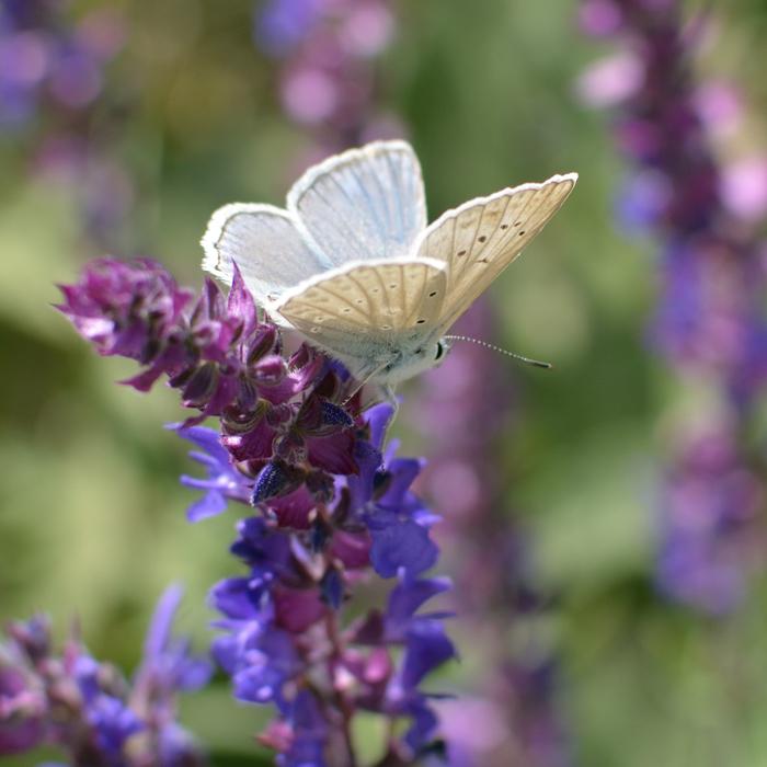 Бабочка и шалфей Макросъемка, Бабочка, Шалфей, Nikon d5200, Фотография