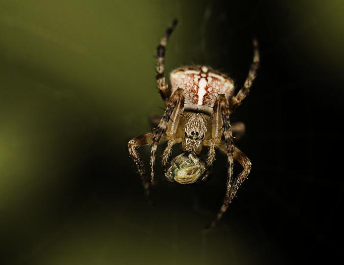 Обед паука