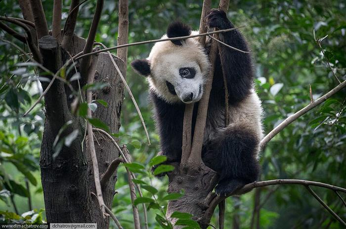 Крупнейший питомник панд в Китае Панда, Китай, Питомник, Длиннопост