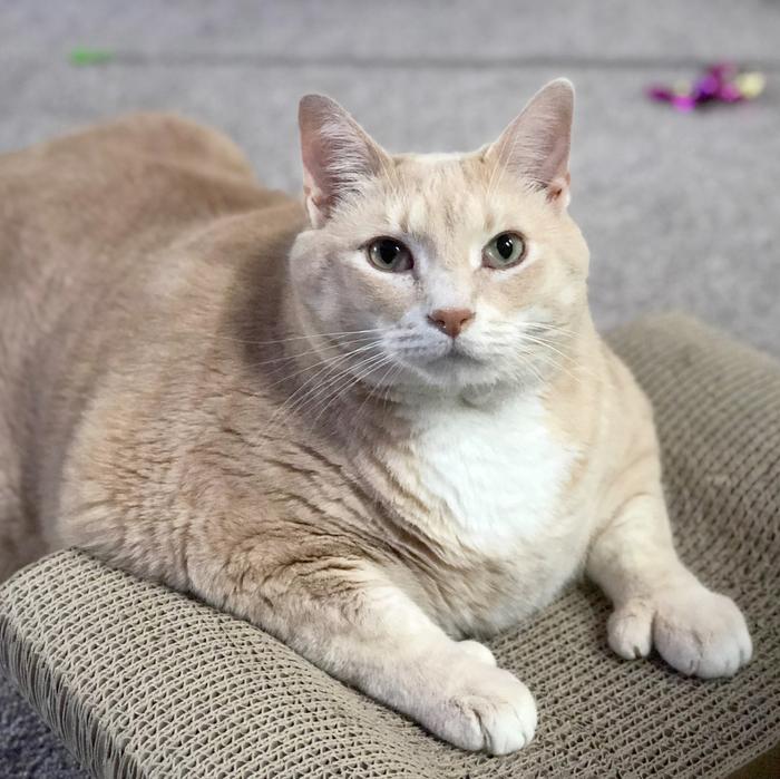 Знакомьтесь, этого пухляша зовут Бронсон. Сегодня забрали его из приюта и начинают долгий путь похудения Кот, Милота, Животные, Толстый, Жалко, Лапки, Длиннопост
