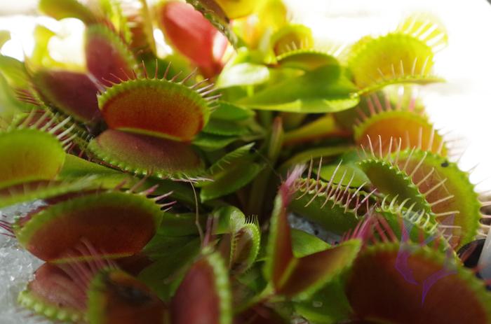 Венерина мухоловка Венерина мухоловка, Dionaea muscipula, Хищные растения, Уход, Выращивание, Гифка, Видео, Длиннопост