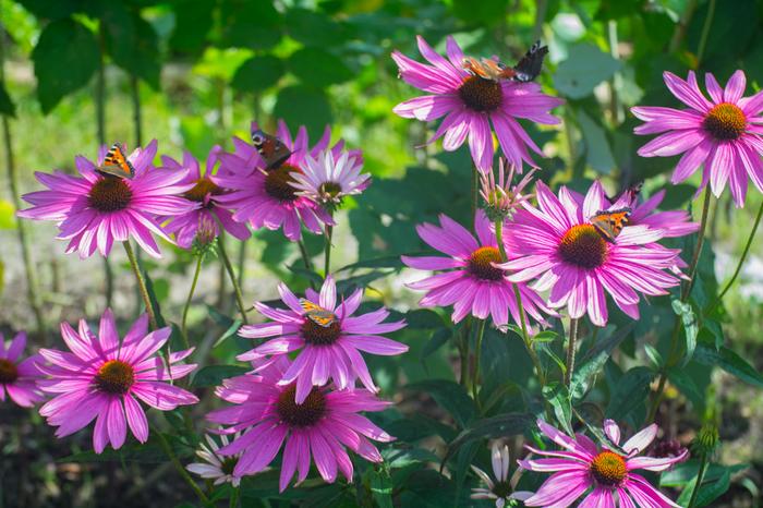 Эхинацеи и их обитатели Цветы, Бабочка, Фотография, Nikon d5200