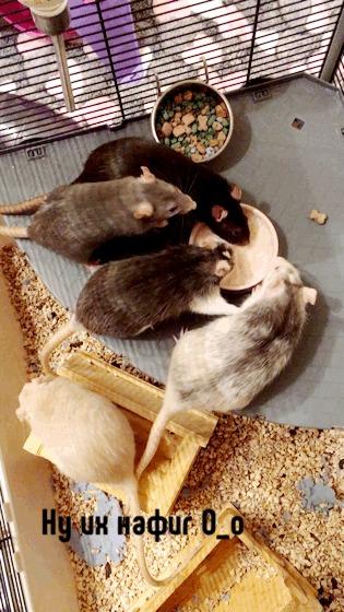 Типичный женский коллектив Декоративные крысы, Крыса, Крысиные хроники, Гифка