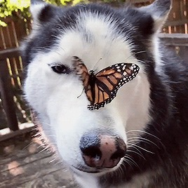 Слишком мило, чтобы не поделиться Собака, Бабочка, На носу, Милота, Гифка