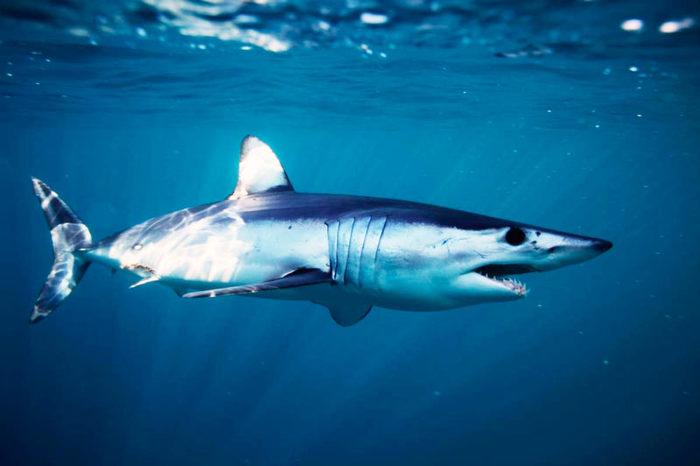 Подводный охотник вырвал из пасти акулы свою добычу Акула, Приморский край, Соревнования, Новости, Длиннопост