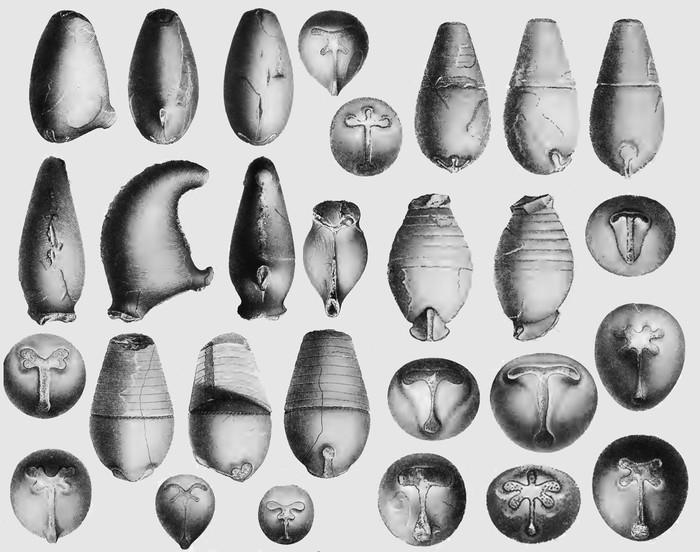 Маски наутилоидей Палеонтология, Моллюск, Головоногие, Наука, Копипаста, Elementyru, Длиннопост