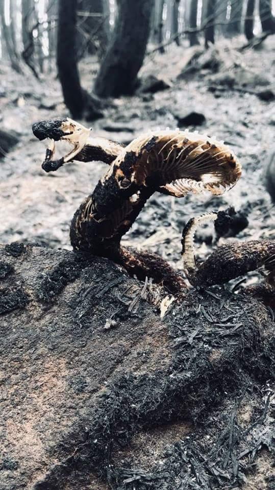 Останки гремучей змеи в сгоревшем лесу