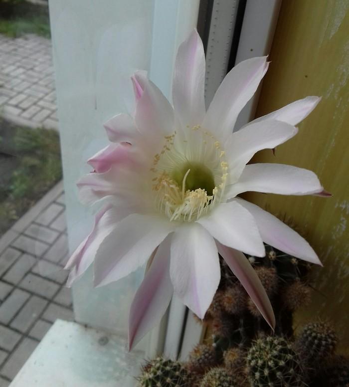 Кактус зацвел Красота, Цветок, Цветущие кактусы, Длиннопост
