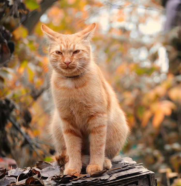 Осень - пора мечтаний. Кот, Рыжик, Домашние животные, Фотография, Длиннопост