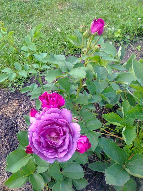 Дачная радость Дача, Цветы, Роза, Красота, Длиннопост