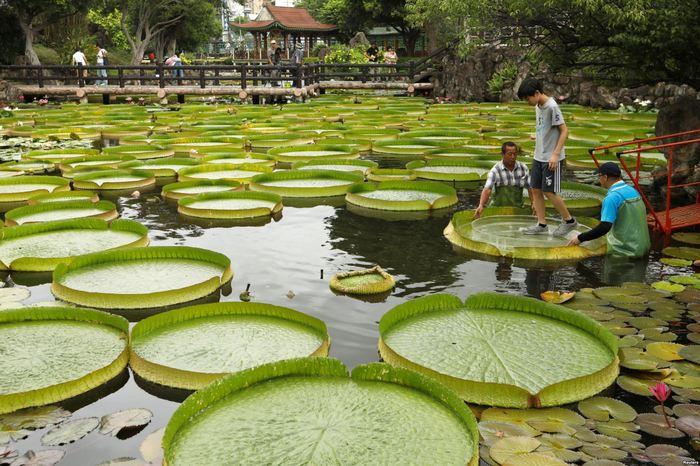 Гигантские листья водяной лилии Тайбэй, Тайвань, Растения, Фотография, Водное растение, Виктория амазонская