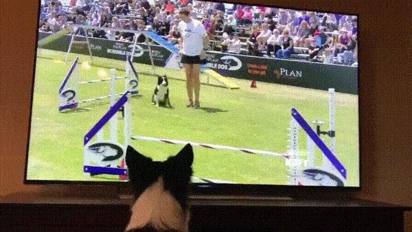 Кирк, самка бордер-колли, смотрит по телевизору своё победное выступление на конкурсе Purina Pro Challenge