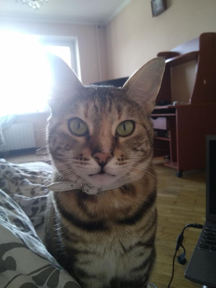 ПРОПАЛА КОШКА Потерялся кот, Помогите найти, Помощь животным, Длиннопост, Кот, Истра, Московская область, Без рейтинга