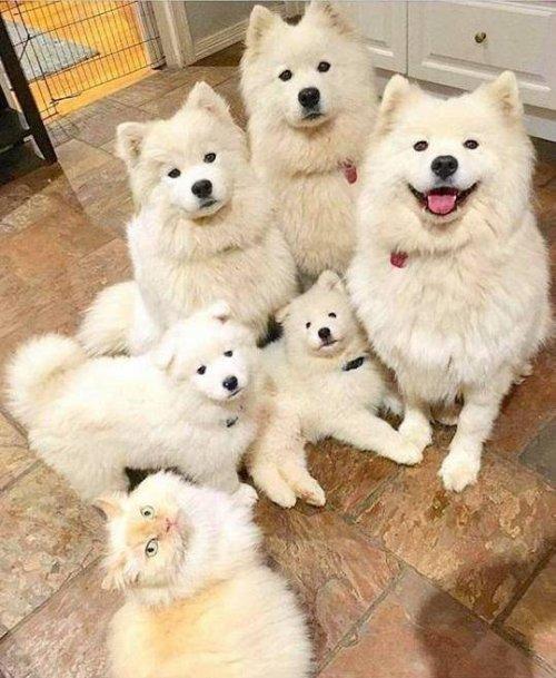 Семейный портрет в интерьере Собака, Семейство, Самоед, Кот