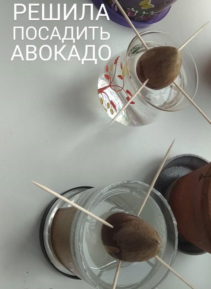 Авокадовод Авокадо из косточки, Длиннопост, Авокадо, Комнатные растения