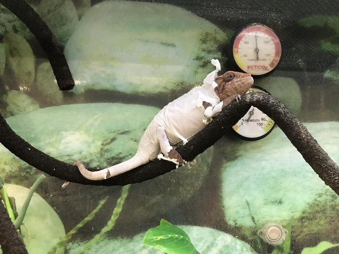 Линяющий хамелеон, похож на то как будто он в своей модной пижамке