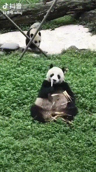 Детёныш панды нагло прервал обед своей матери
