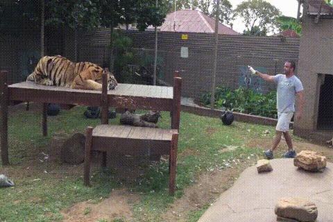 Что произойдет, если вы нарушите зрительный контакт с тигром