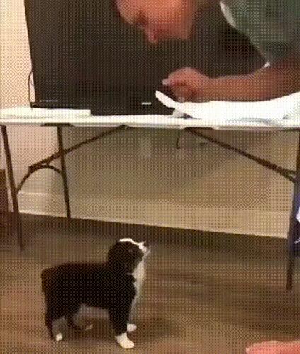 Дрессировочка Собака, Гифка, Дрессировка