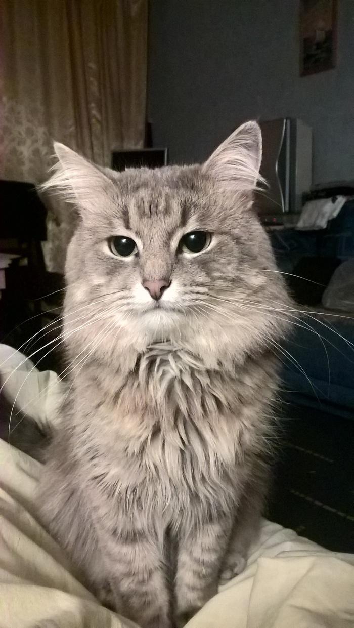 Пропал кот Пушок Кот, Потерялся кот, Потеряшка, Чертаново, Россошанская, Длиннопост, Москва, Без рейтинга