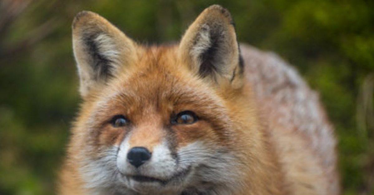 картинки лиса улыбается комментариях