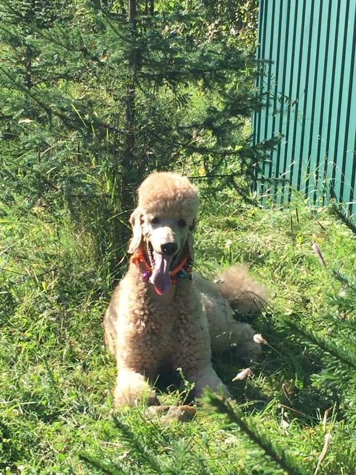 Марсель, покоритель Хамар Дабана) Собака, Поход, Пик Черского, Хамар-Дабан, Длиннопост