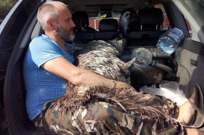 Нашелся страус, сбежавший из вольера под Осиповичами Беларусь, Страус, Эму, Побег, Розыск, Видео, Длиннопост