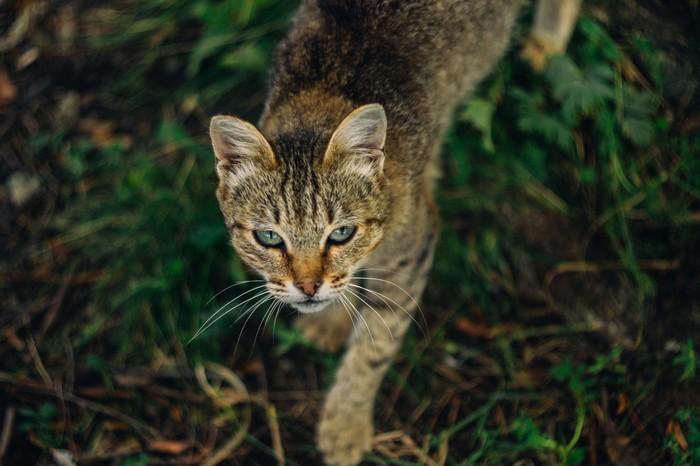 Деревенский кот. Снято на Nikon d3100 Гелиос 81Н 50/2 ISO 100