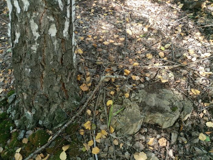 Окаменевшее дерево рядом с пока не окаменевшим деревом Дерево, Коркино, Окаменелое дерево, Пальцы, Длиннопост
