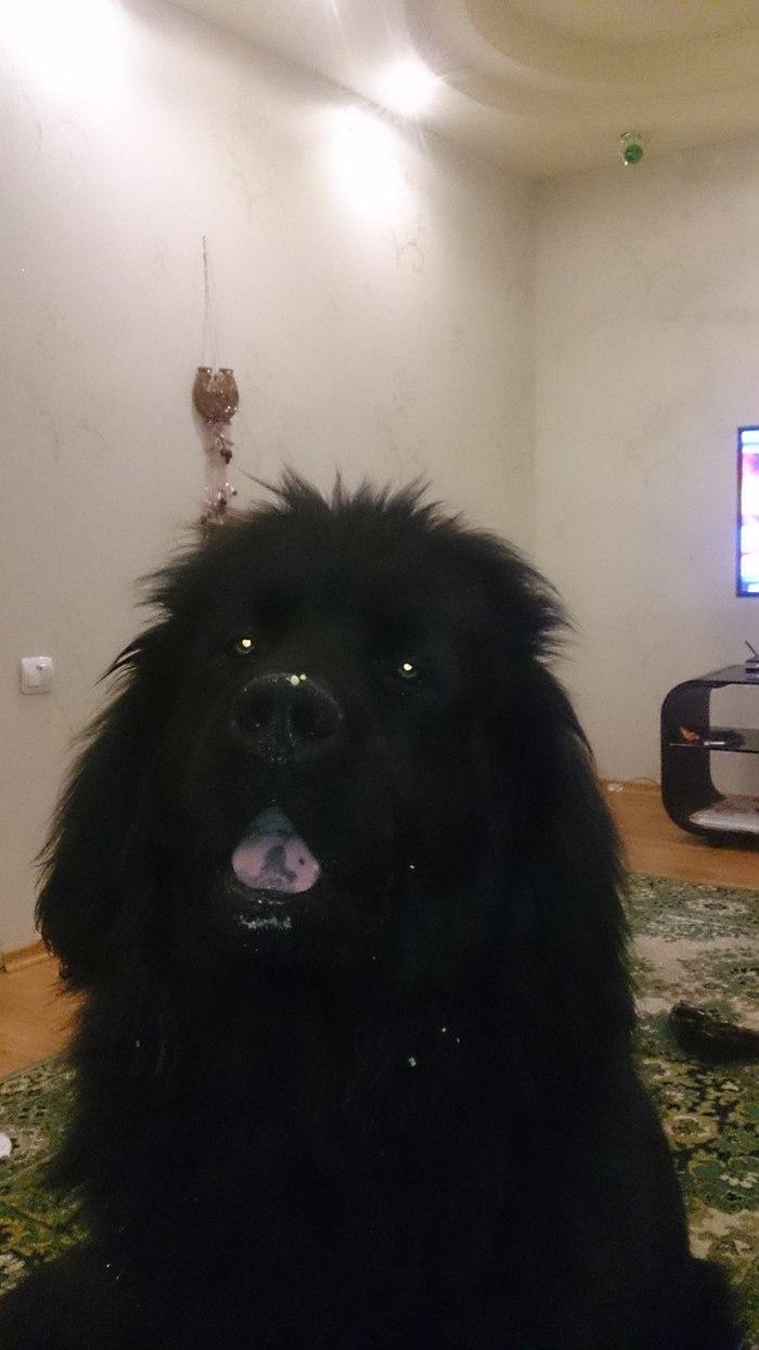 Запутанная история Собака, Спор, Бывшая хозяйка, Ньюфаундленд, Длиннопост, ВКонтакте, Переписка