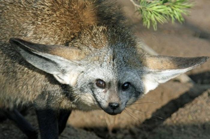 Большеухая лисица. Лиса, Животные, Крипота