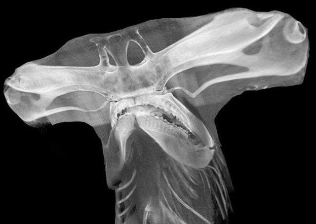 Голова акулы-молота. Рентген.