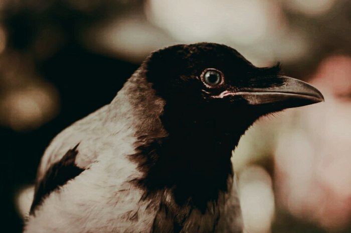 Ворона и человек 2 Врановые, Ворона, Серая ворона, Птицы, Животные, Интересное, Зоопсихология, Интеллект животных, Видео, Длиннопост