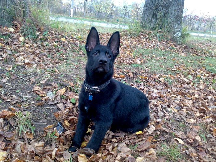 Лекс и его первая осень Животные, Собака, Овчарка, Фотография, Осень