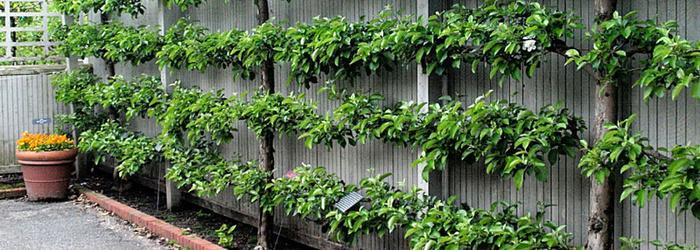 Живая стена из яблони своими руками Сад, Яблоня, Стена