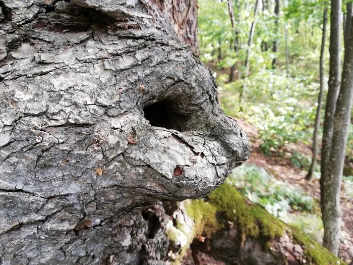 Силуэт головы кошки в дереве Кот, Дерево, Лес, Силуэт, Показалось