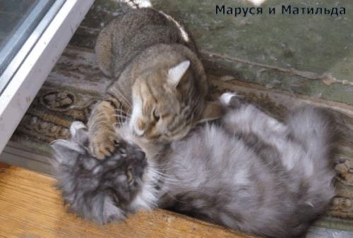 -Мама, ну пустите меня, я уже чистая! Кот, Котята, Материнский инстинкт, Лизание, Усатый-Полосатый, Питомец, Домашние животные, Гифка