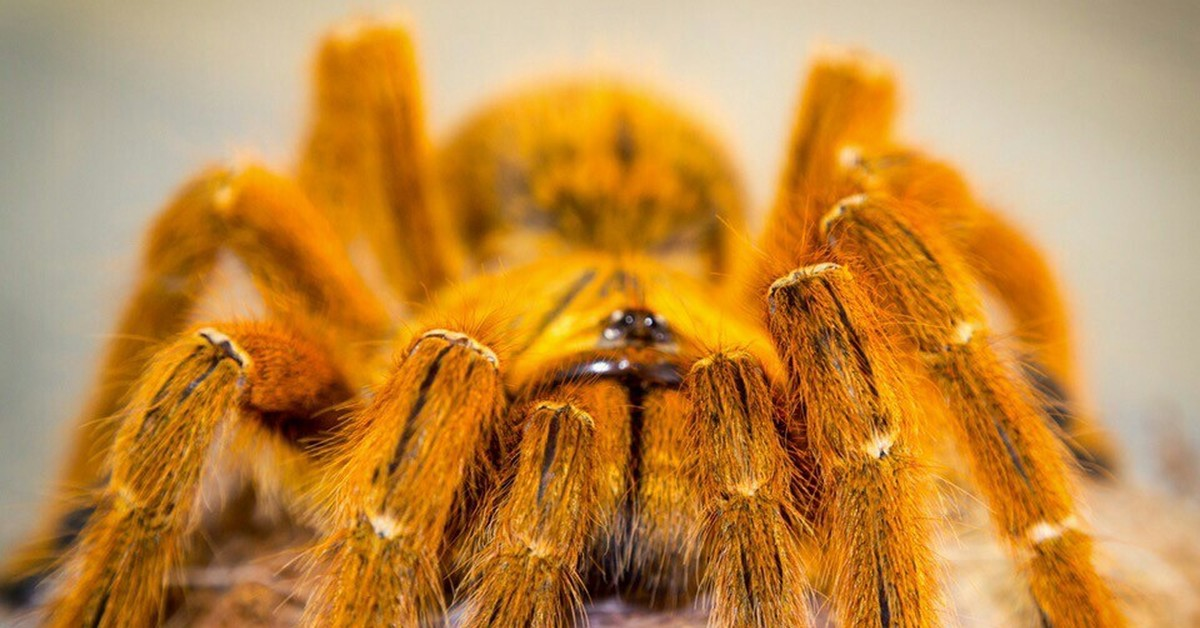 Картинки африканские пауки