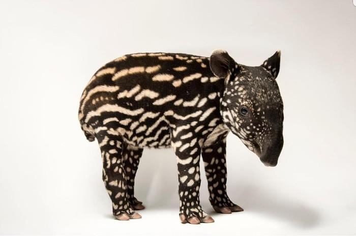 В Минесоте родился детёныш малайского тапира. The National Geographic, Тапир, Милота, Длиннопост