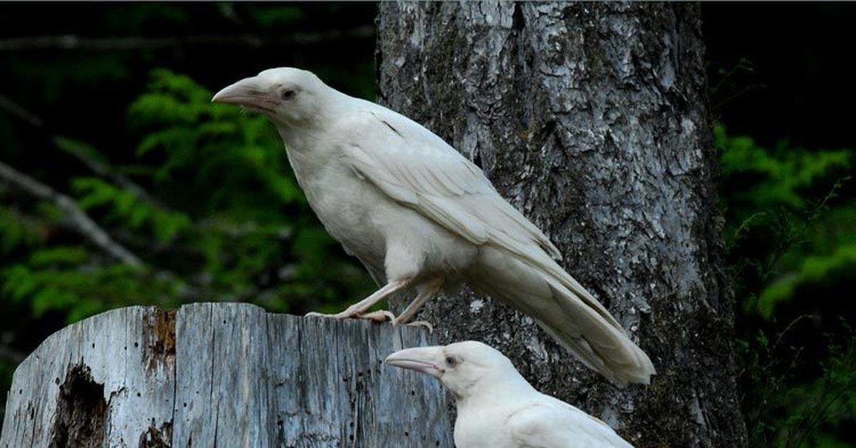 редкая белая ворона фото его