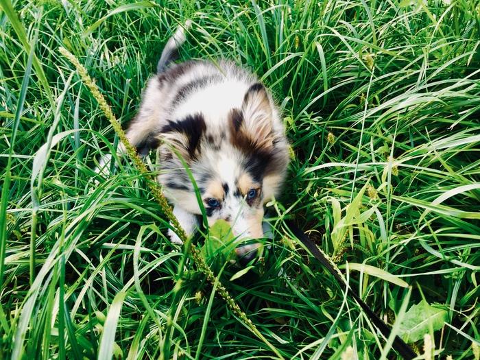 Дориан 5 месяцев, растем по немногу ) Моё, Шелти, Собака, Длиннопост