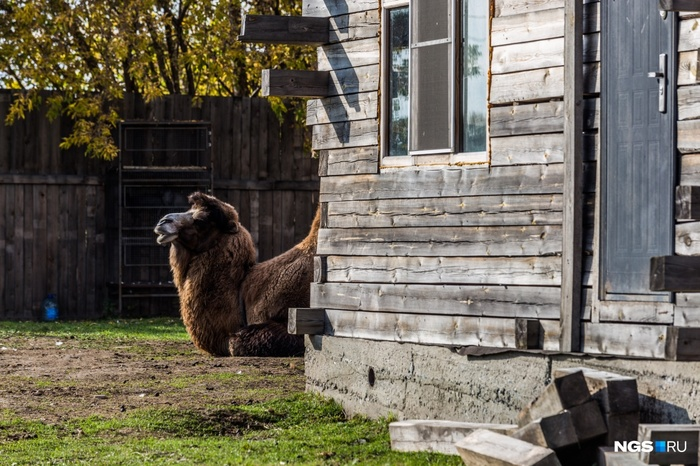 Как живет сибирская семья, которая воспитывает страусов-гигантов Сибирь, Ферма, Страус, Эму, Песец, Верблюды, Яйца, Сельское хозяйство, Видео, Длиннопост