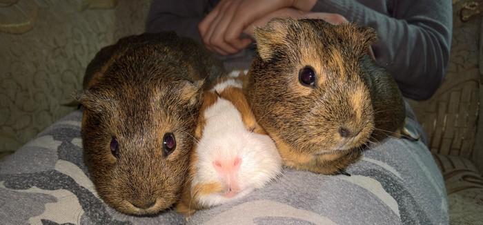 Дружба крепкая не сломается...))) Морская свинка, Животные, Милота