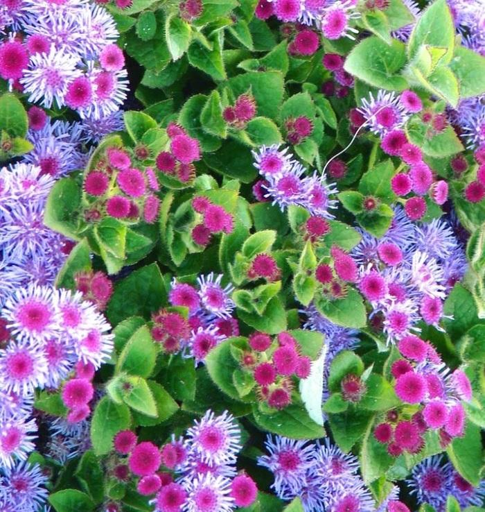 Агератум - посадка, выращивание в домашних условиях, размножение Агератум, Комнатные растения, Домашние цветы, Длиннопост