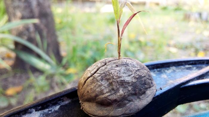 """""""Накидают своих орешков..."""" (с) Трава Трава, Воля, Жизнь, Орехи, Росток"""