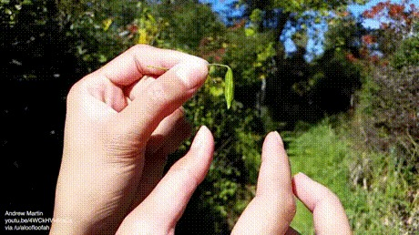 Взрывающиеся семена Семена, Тургорные механизмы, Недотрога обыкновенная, Растения, Гифка