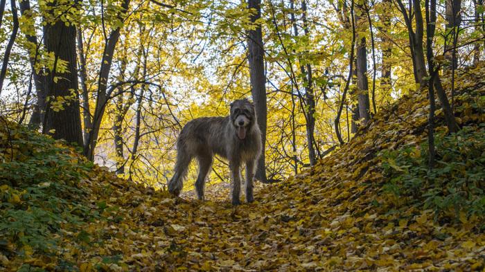 Осенние Вуки Собака, Ирландский волкодав, Шелти, Осень, Видео, Длиннопост