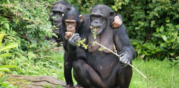 Шимпанзе, как и люди, охотнее делятся едой со своими друзьями Шимпанзе, Сотрудничество, Социальное взаимодействие, Поведение животных, Окситоцин