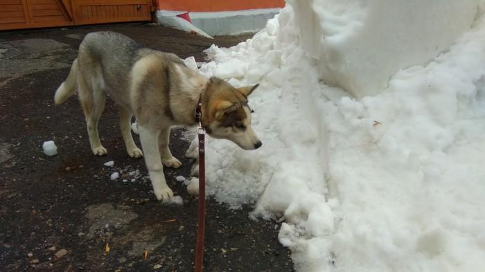 Первый раз увидел снег... Каток, Снег, Хаски, Собака